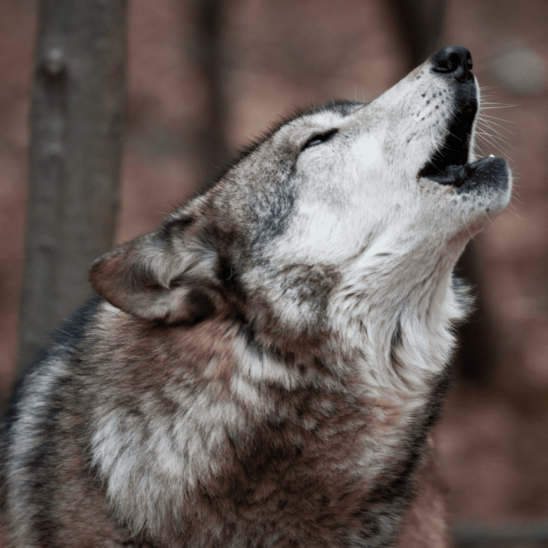 Grey wolf howling in a forest