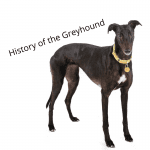 Black Greyhound standing