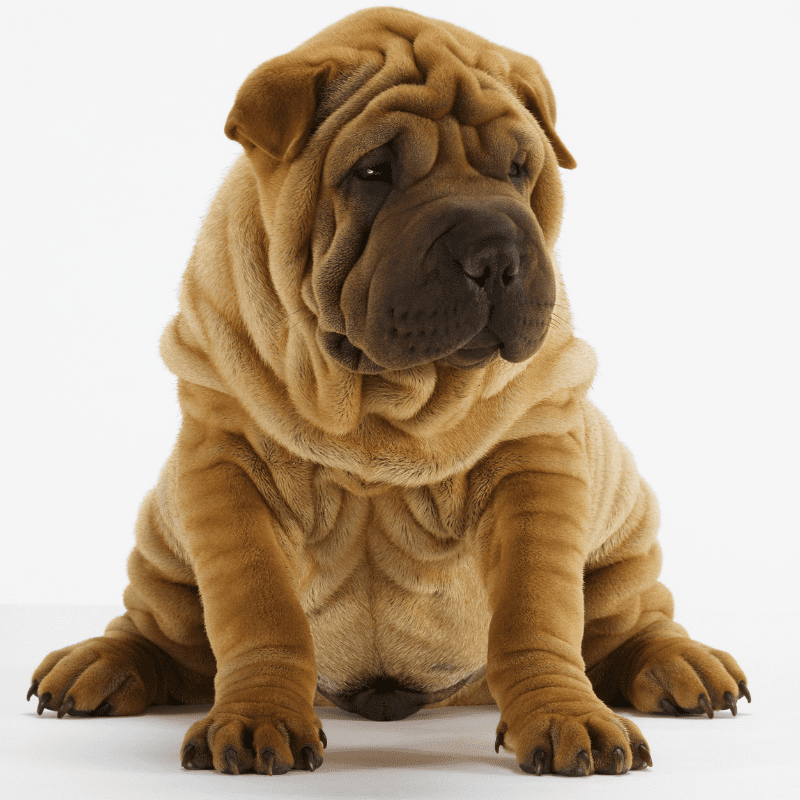 Shar-Pei dog sitting down