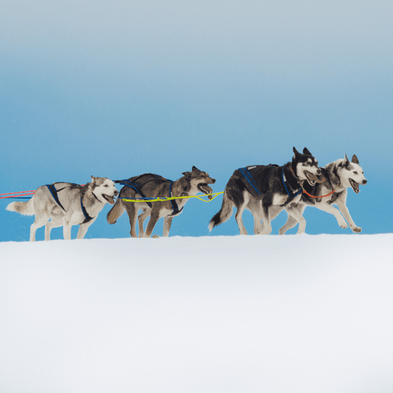 Siberian Huskies racing together on cold snow in a sled dog race.