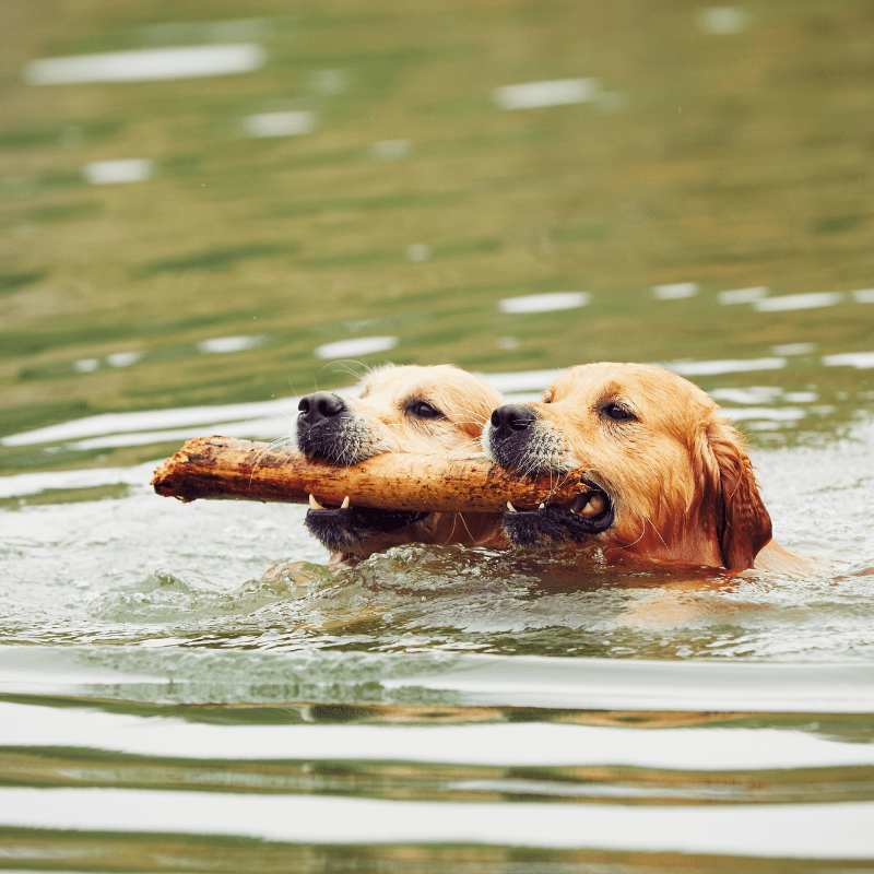 Two dogs swimming in a lake with a stick in mouth