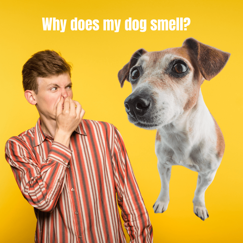 A male holding his nose and a Jack Russell dog