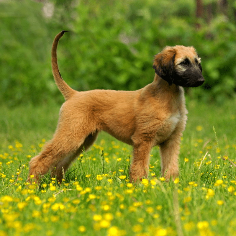 Gold Afghan hound puppy standing