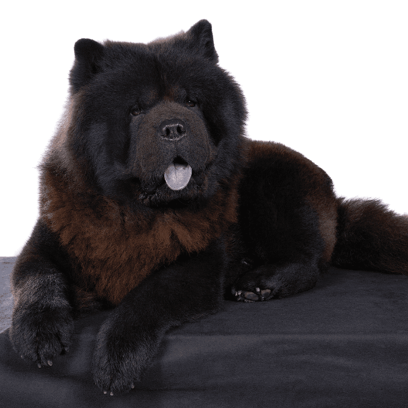 Black adult Chow Chow sitting down with blue tongue pocking out