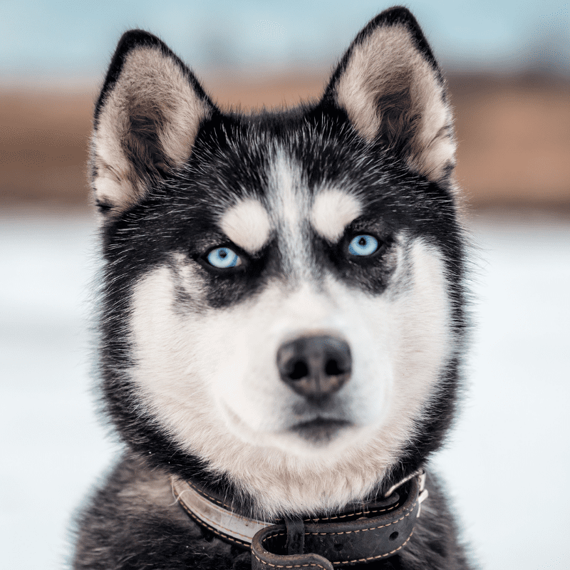 A Husky looking at camera with blue eyes