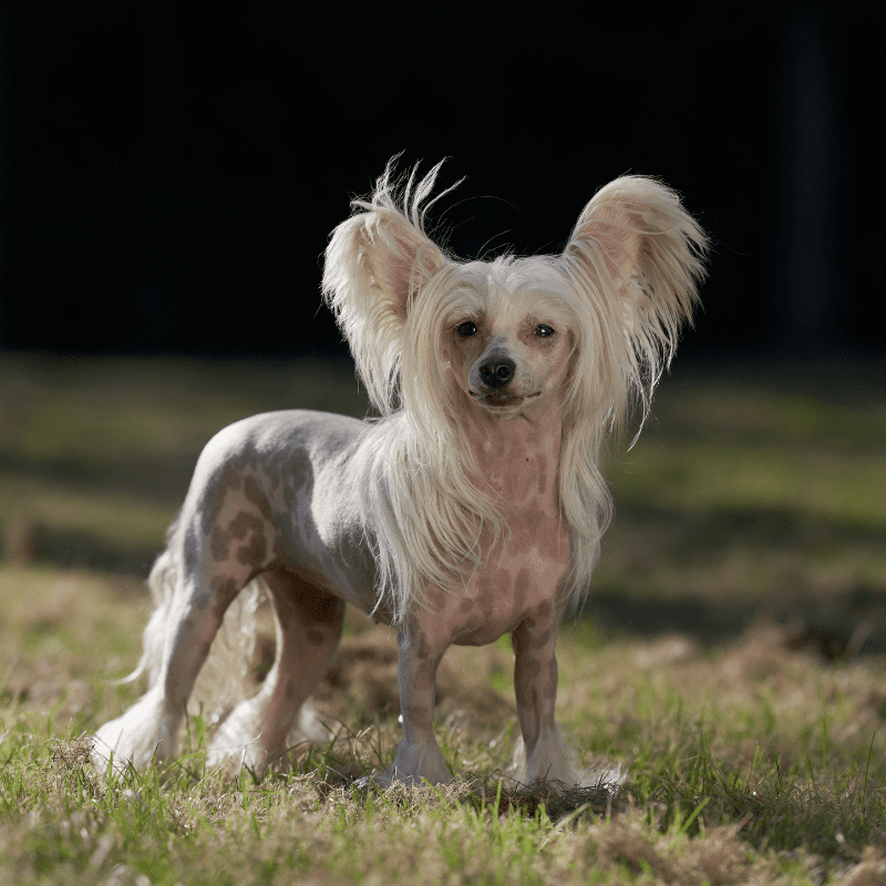 Chinese Crested dog stadning on the grass looking at camera