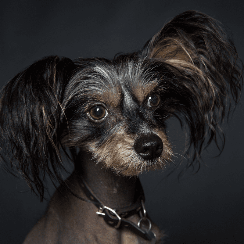 Black Chinese Crested dog with collar on