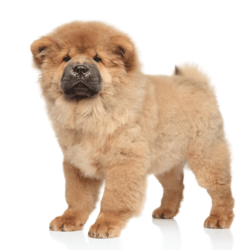 Brown Chow Chow Puppy standing against a white background