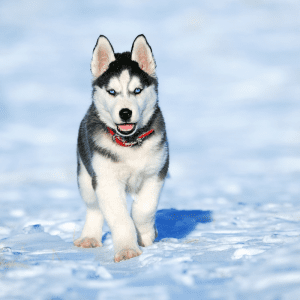 Cute Husky Puppy in the Snow