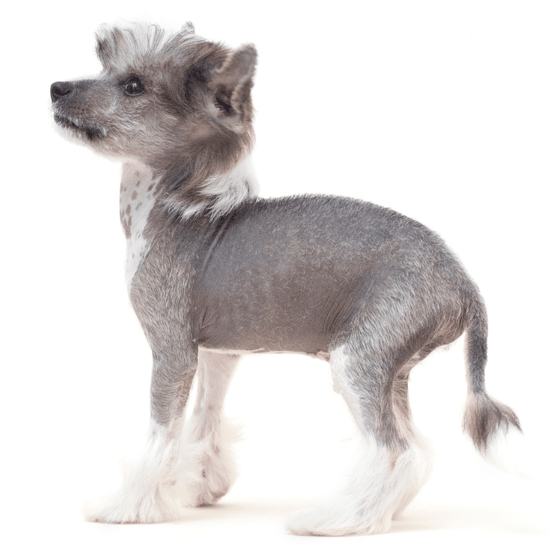 Chinese Crested Dog standing - Hairless