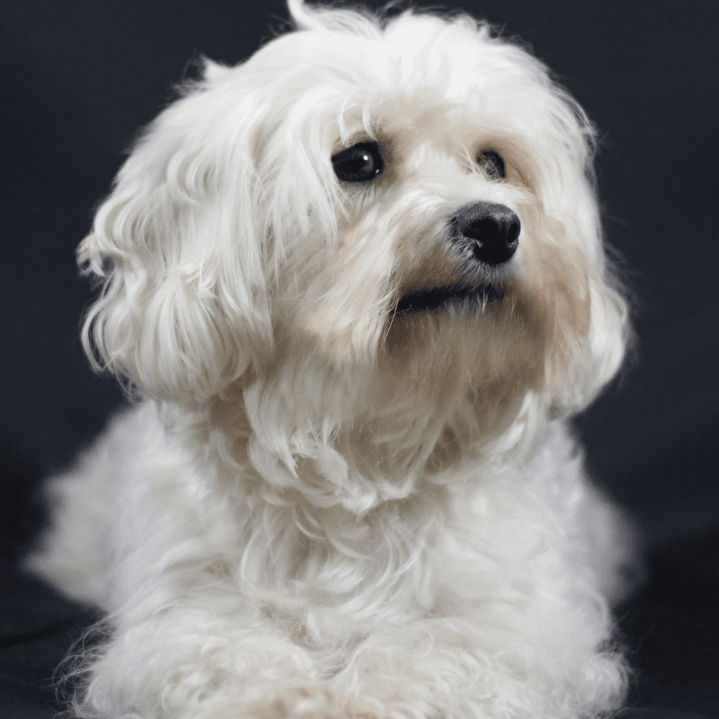 White Havanese Dog Breed black background