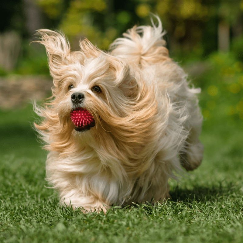 Non groomed Havanese dog running on with a red ball in mouth
