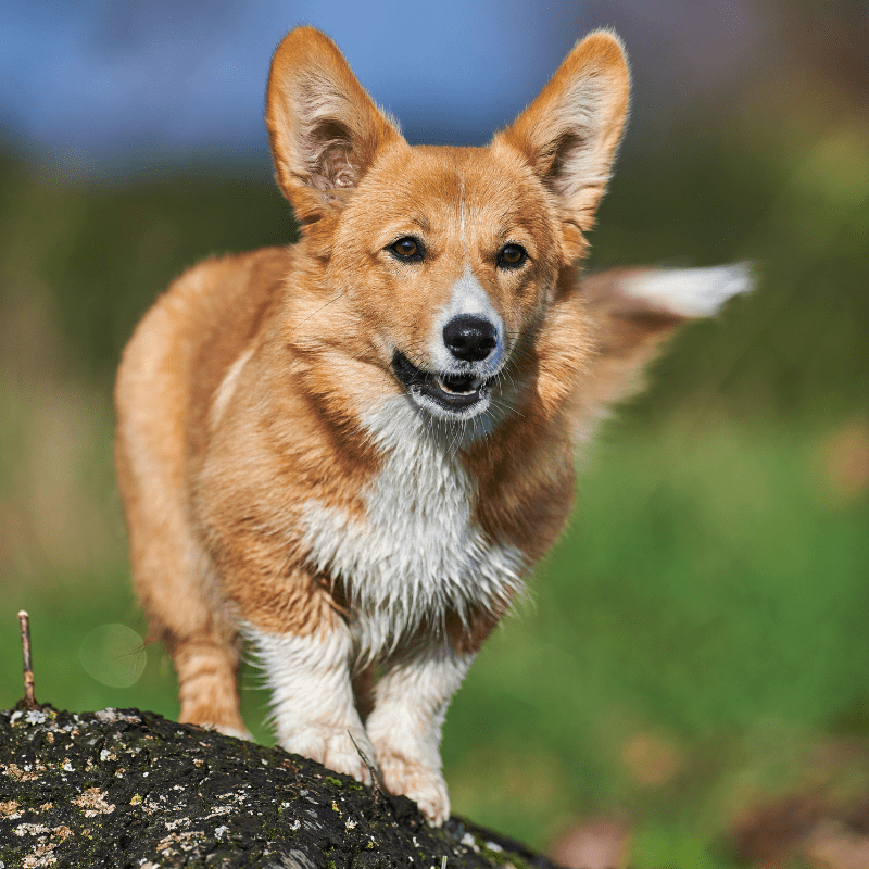 Pembroke Welsh Corgi standing on a rock