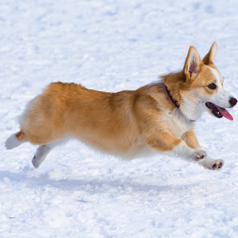Dog breed Welsh Corgi Pembroke runs through snow