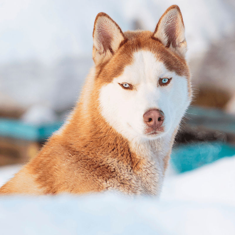 A husky with blue eyes in winter
