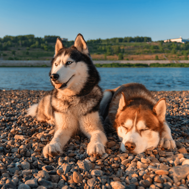 Siberian husky dogs lie on beach.