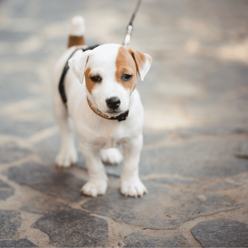 A young Jack Russell Terrier on a dog walk