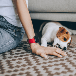 Adorable puppy Jack Russell Terrier on the carpet playing with owner.