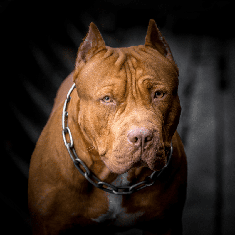 American Pit Bull Terrier looking at the camera