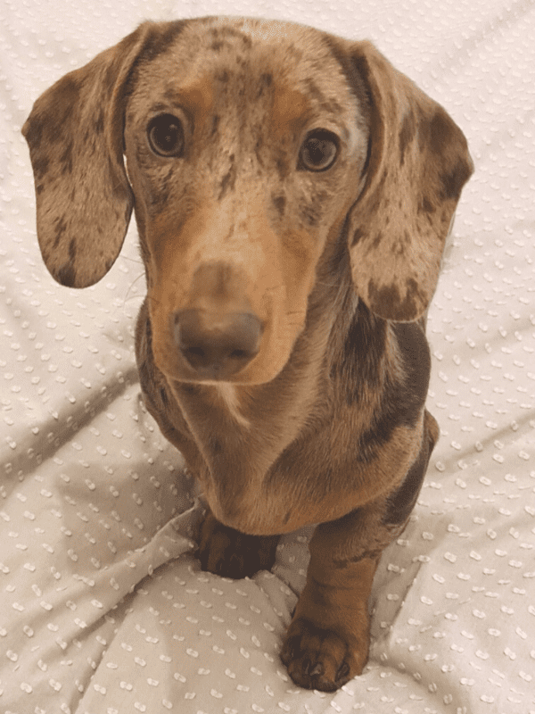 Dachshund with healthy feet and legs