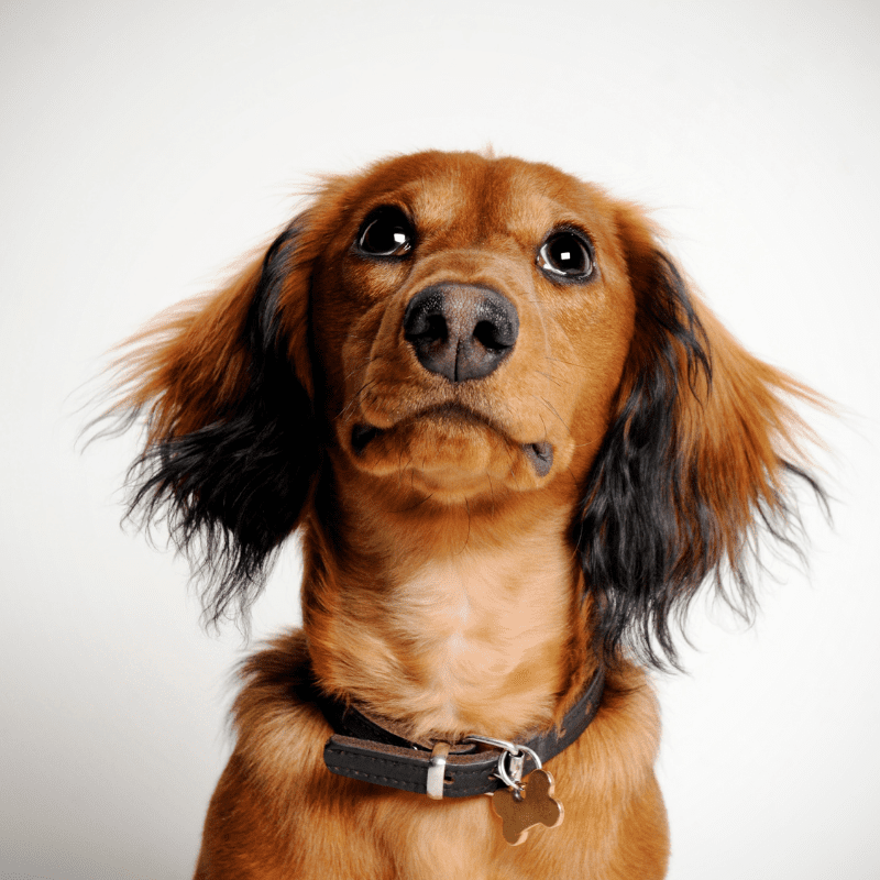 Dachshund with a collar on and tan in colour