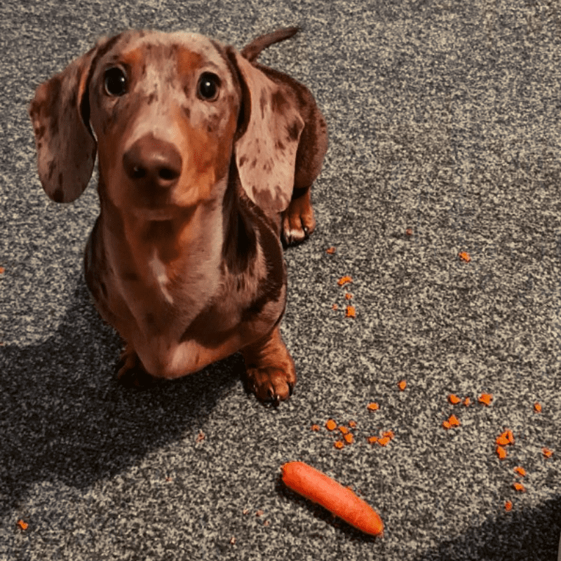 Dachshund with his raw carrot