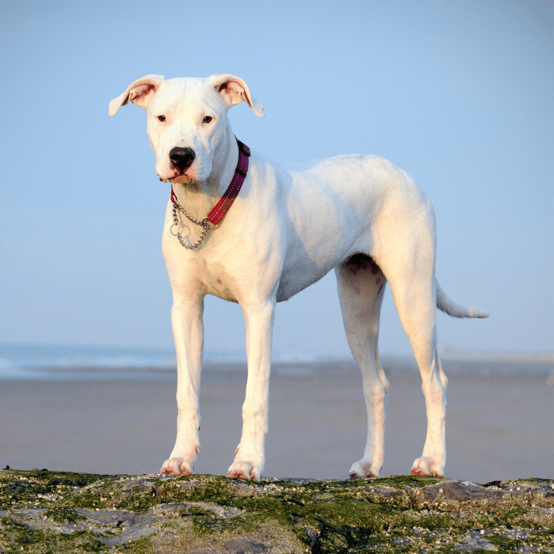 Dogo Argentino standing on rocks at the beach