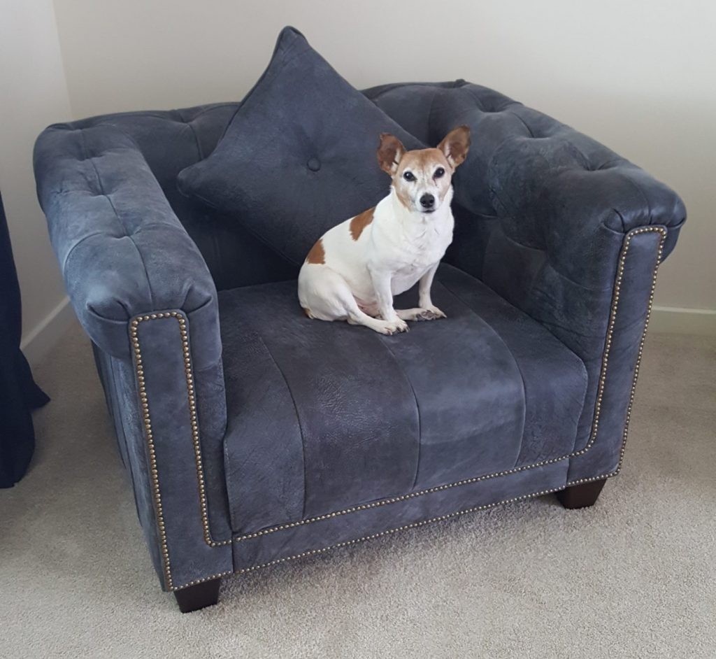 Jack Russell Terrier staring at owner while sitting on a grey sofa