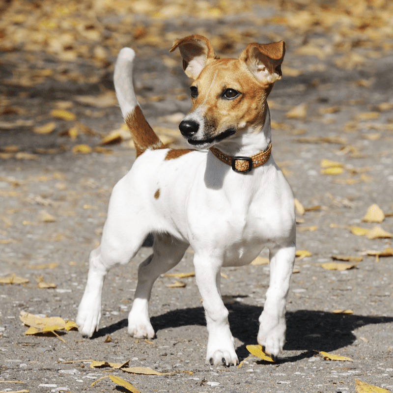 Jack Russell Terrier standing outside with leaves on the ground