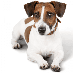 Full body image - Jack Russell terrier lying on the ground, against a white background