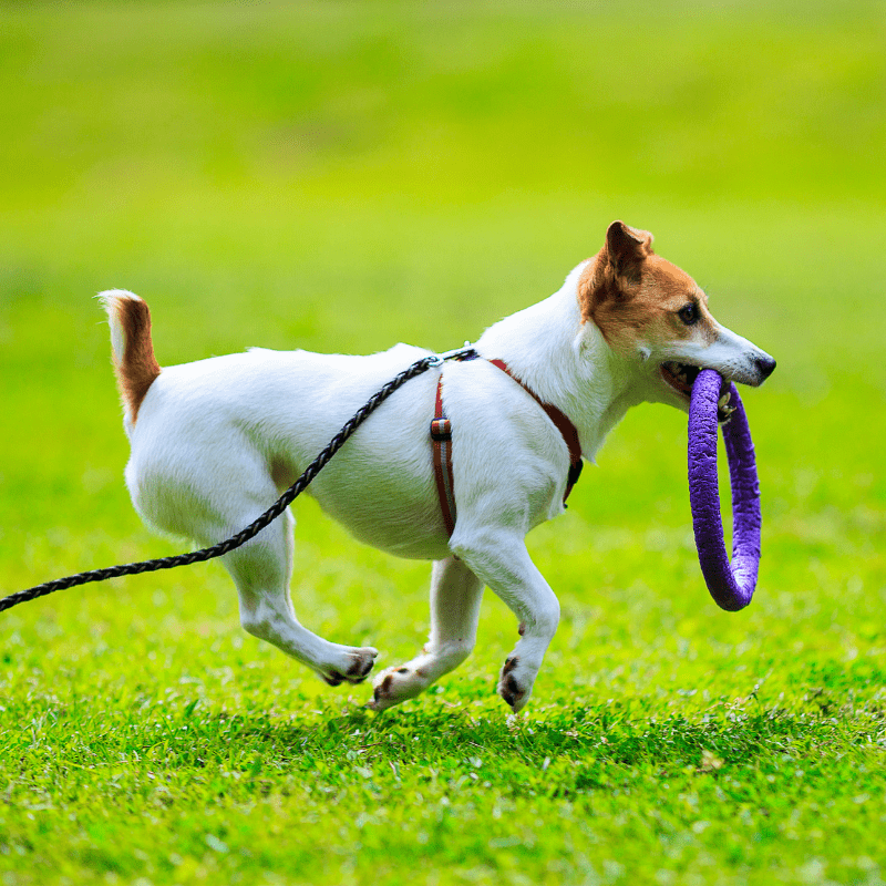 Jack Russell Terrier playing outdoors on green grass with a toy in mouth