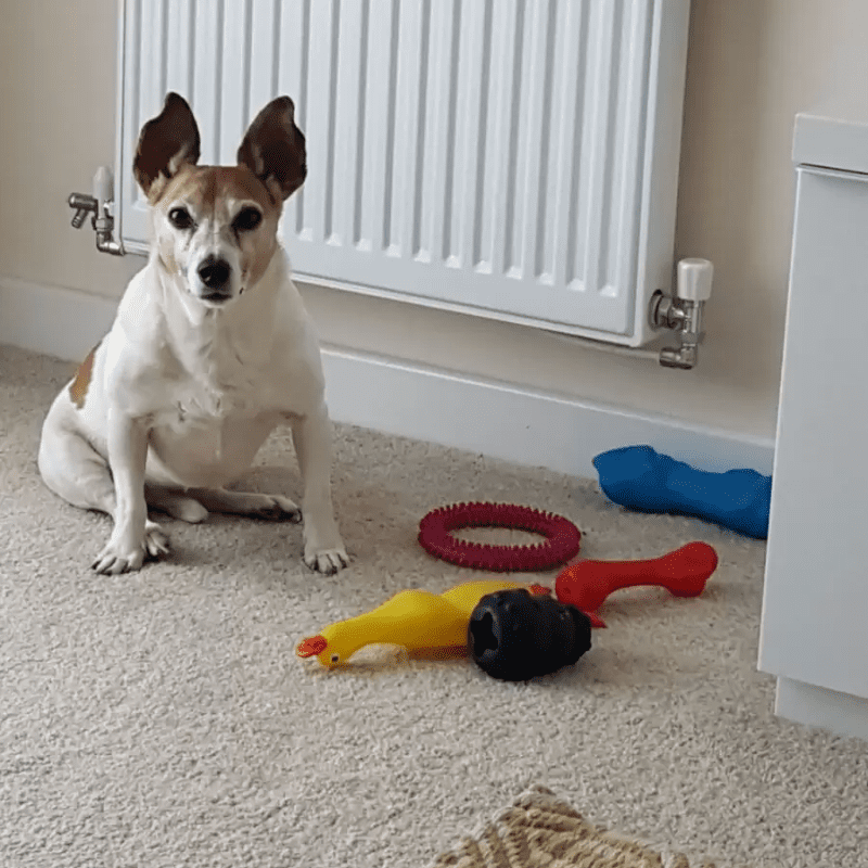 A Jack Russell Terrier staring while sitting down by his toys