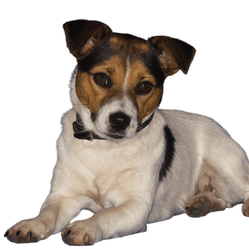 Tricolour Jack Russell Terrier laying down