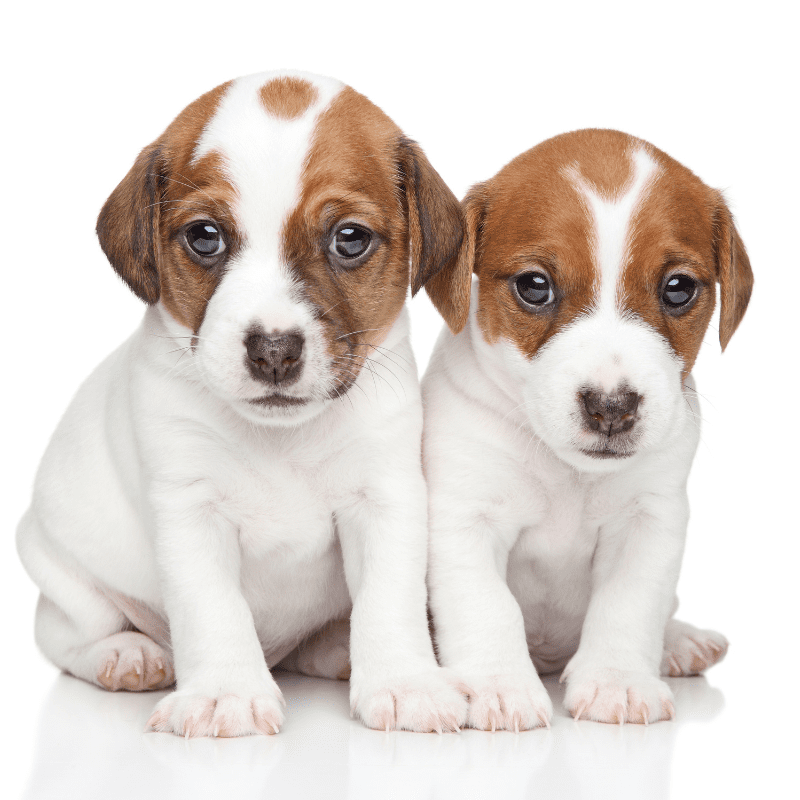 Two Jack Russell Terrier Puppies sitting together on a white background