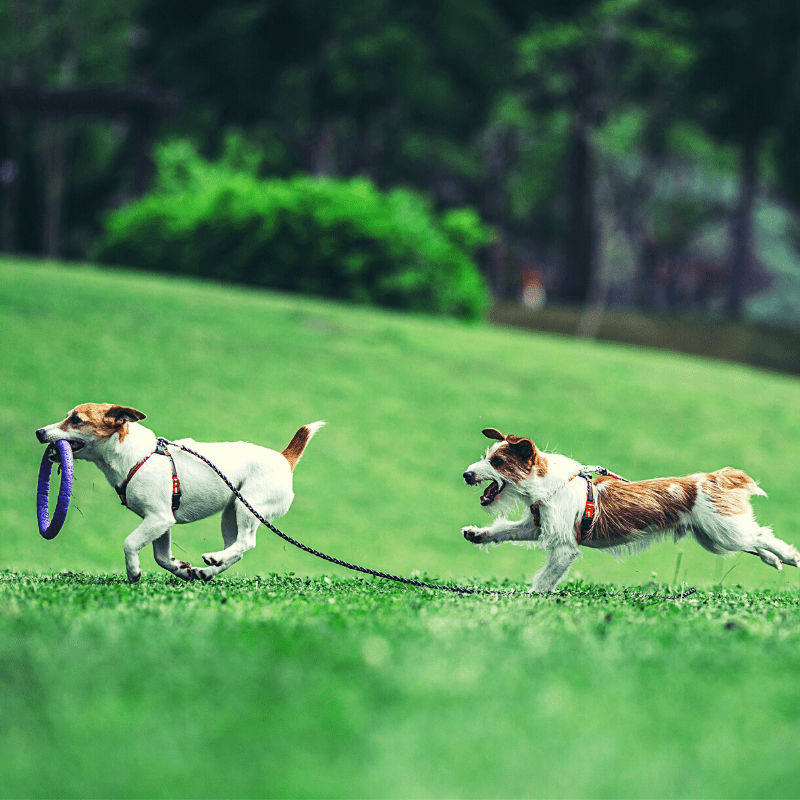 Two Jack Russell Terrier playing together outside on the grass