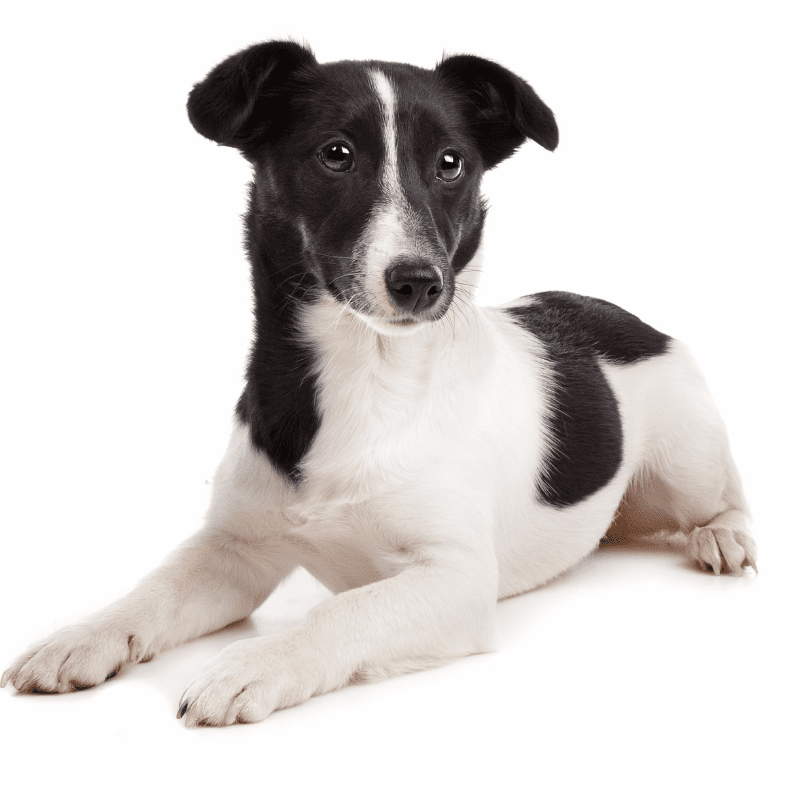 White and black Jack Russell Terrier laying down