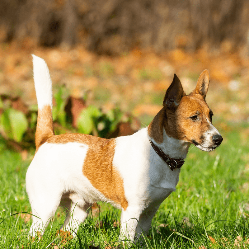 White and tan male Jack Russell Terrier standing in the grass