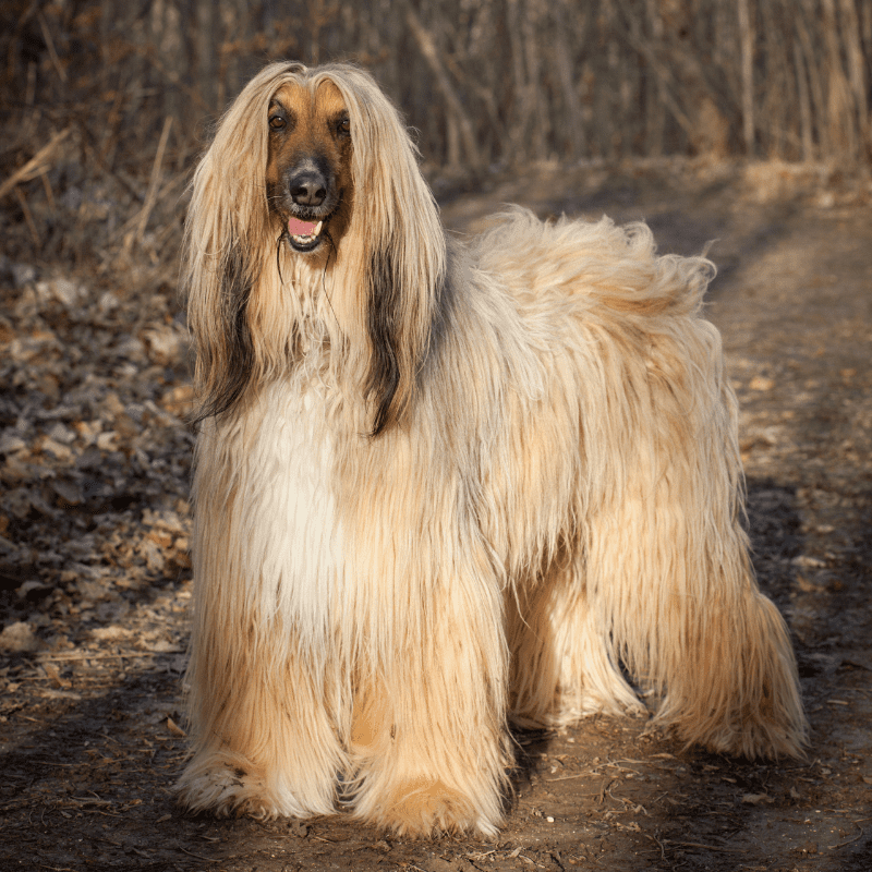 Adult Afghan Hound standing in the woods