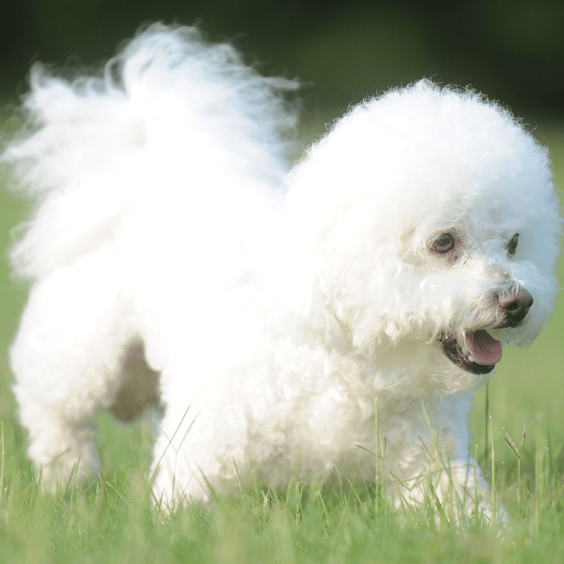 Adult Bichon Frise side profile running on grass