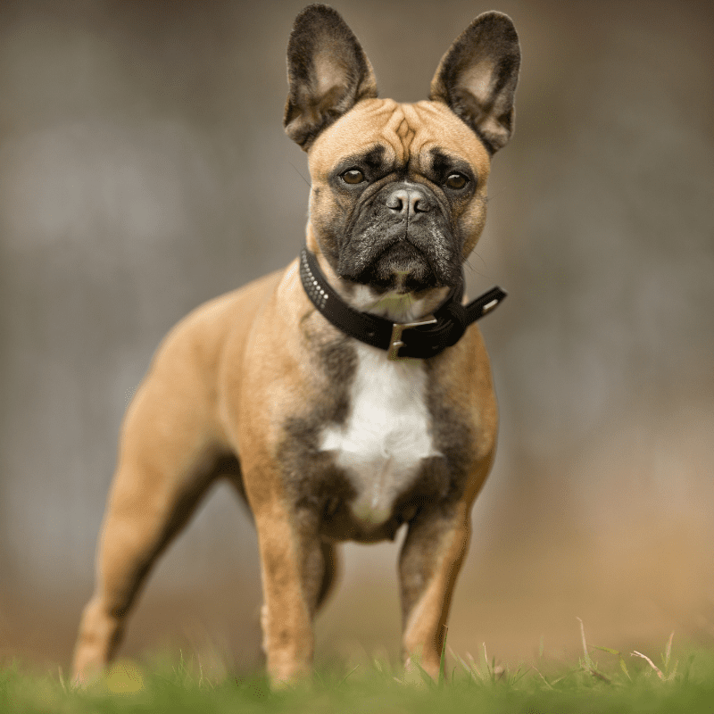 Adult French Bulldog standing looking at the camera