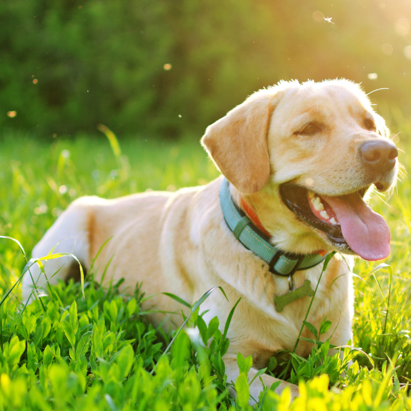 Adult Tan Labrador laying on grass with collar on