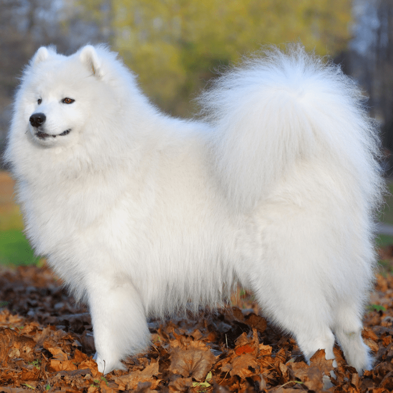 Adult Samoyed dog standing in leaves