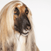 Afghan Hound close up on a white background
