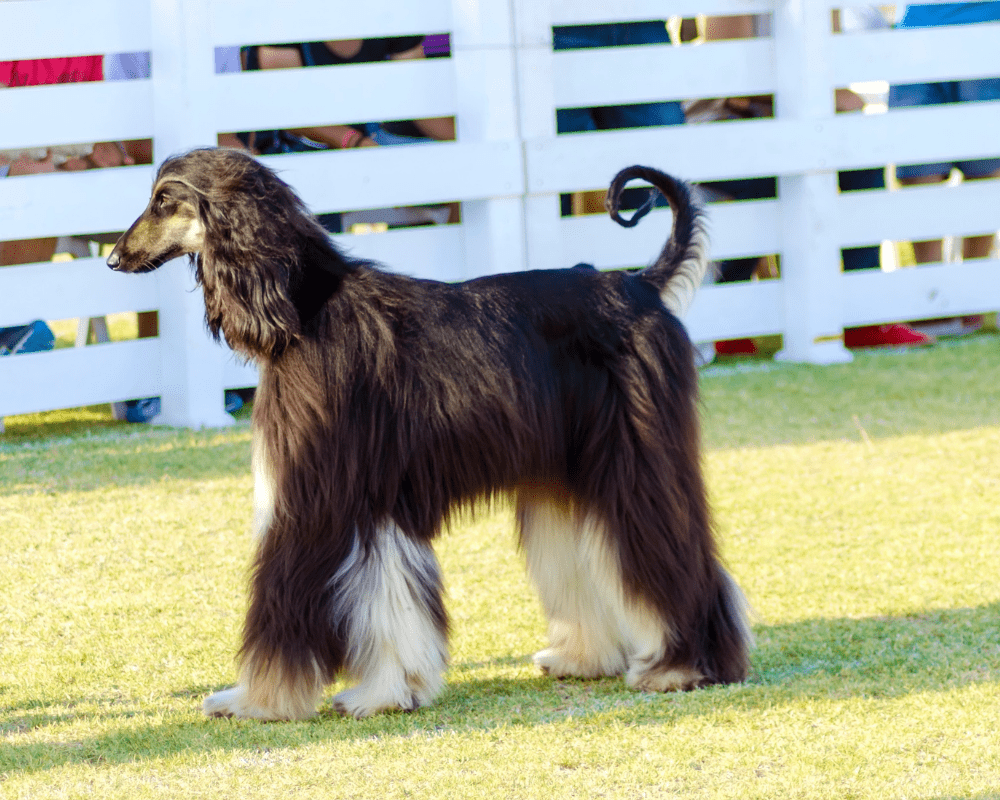 Afghan Hound at show training
