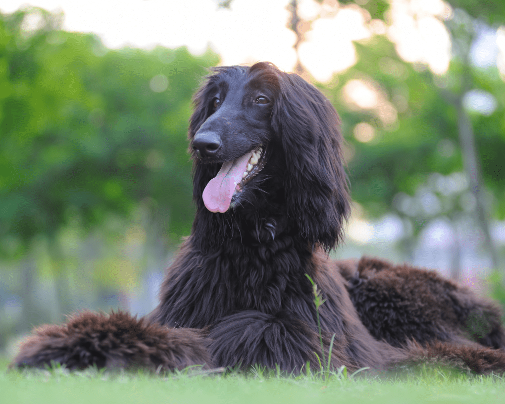Black Afghan hound dog laying down on the grass