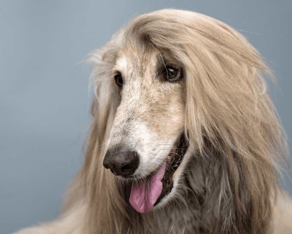 Beautiful Afghan Hound close up of the face