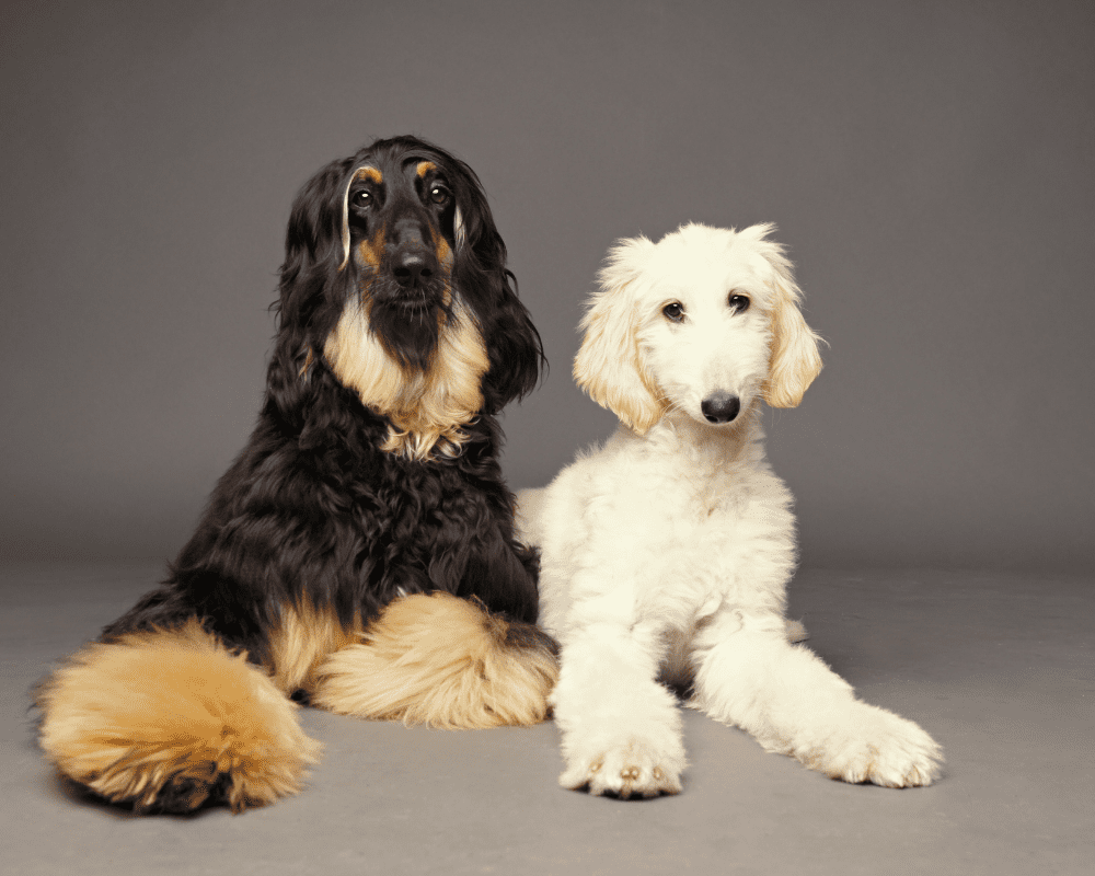 tTwo Cute Afghan hound puppies, laying down looking at camera