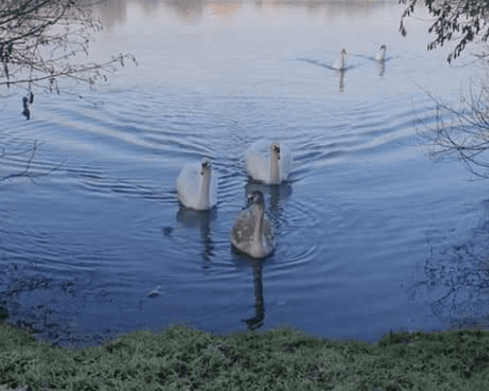 Ferry Meadows lake with swans