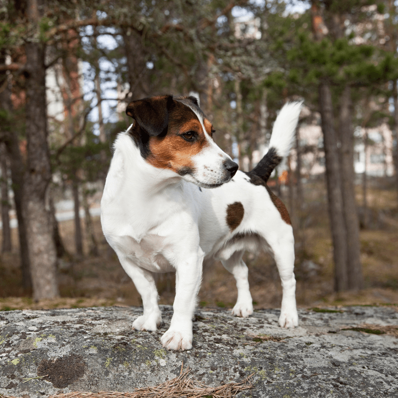 Jack Russell Terrier white, tan and black in colour standing on a log
