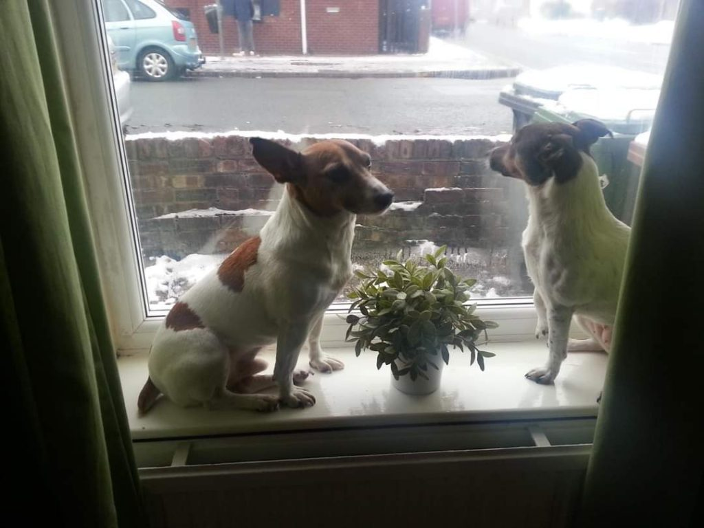 Two Jack Russell Terriers sitting on the window seal watching out of the window